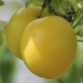 Minarette Cherry Plum 'Golden Sphere'
